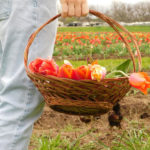 Tulip Picking At Sweetberry Farms