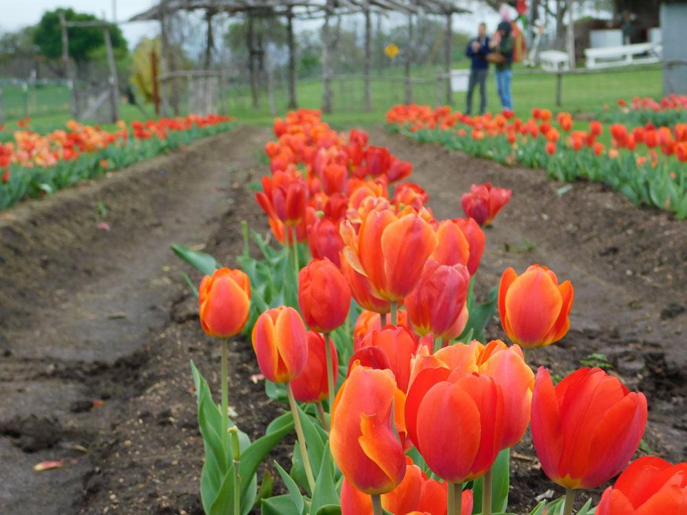 Tulip picking at Sweet Berry Farm